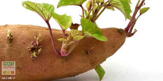 Quels légumes peuvent être mis à côté des pommes de terre?