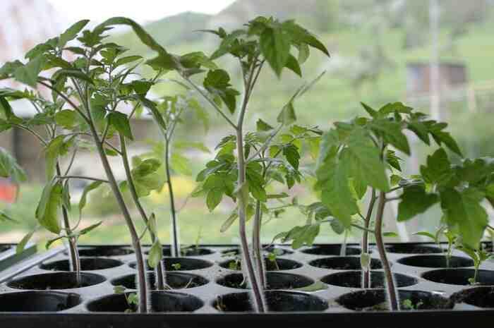 Comment enrichir la terre pour les tomates ?